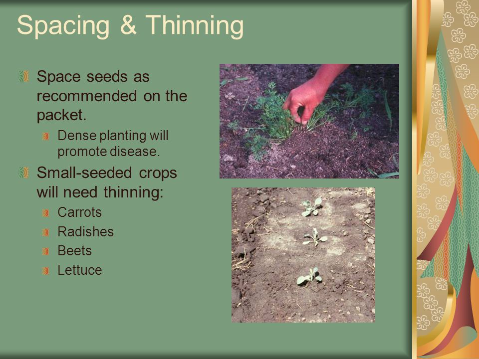 Spacing & Thinning Space seeds as recommended on the packet.