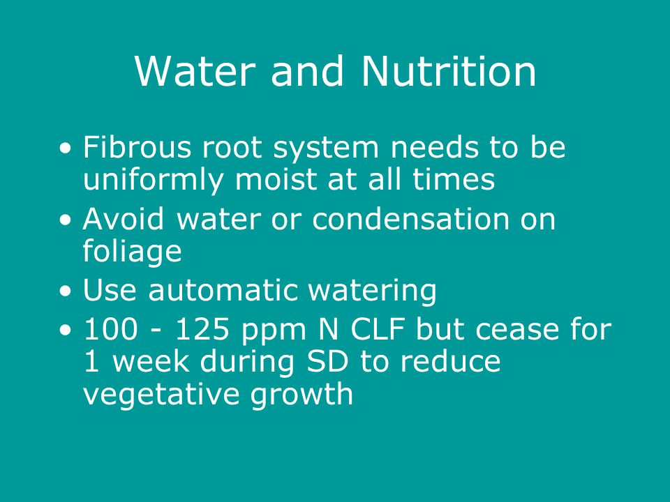 Water and Nutrition Fibrous root system needs to be uniformly moist at all times Avoid water or condensation on foliage Use automatic watering 100 - 125 ppm N CLF but cease for 1 week during SD to reduce vegetative growth