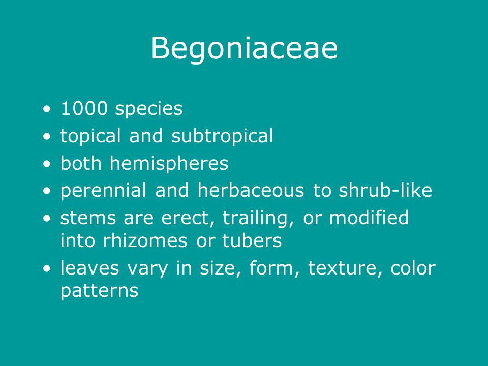 Begoniaceae 1000 species topical and subtropical both hemispheres perennial and herbaceous to shrub-like stems are erect, trailing, or modified into rhizomes or tubers leaves vary in size, form, texture, color patterns