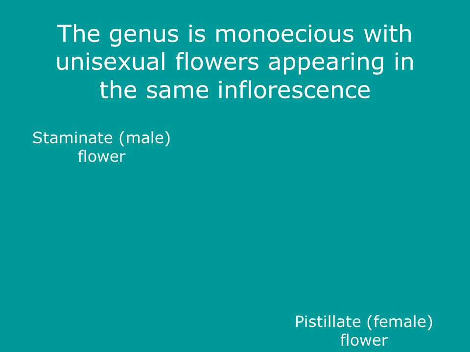 The genus is monoecious with unisexual flowers appearing in the same inflorescence Staminate (male) flower Pistillate (female) flower