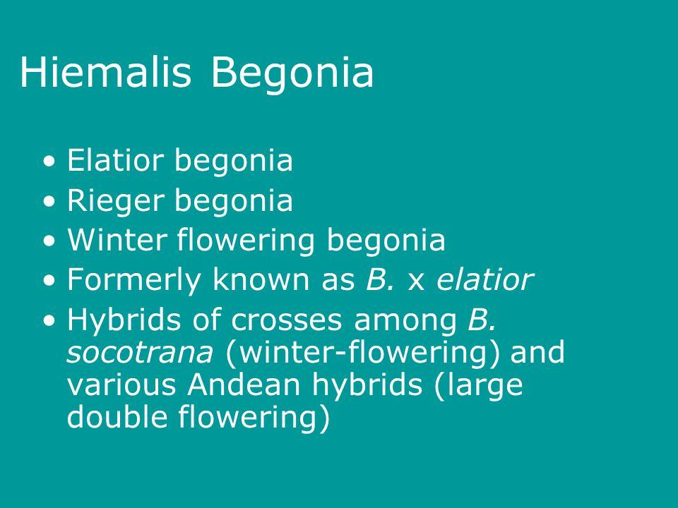 Hiemalis Begonia Elatior begonia Rieger begonia Winter flowering begonia Formerly known as B.