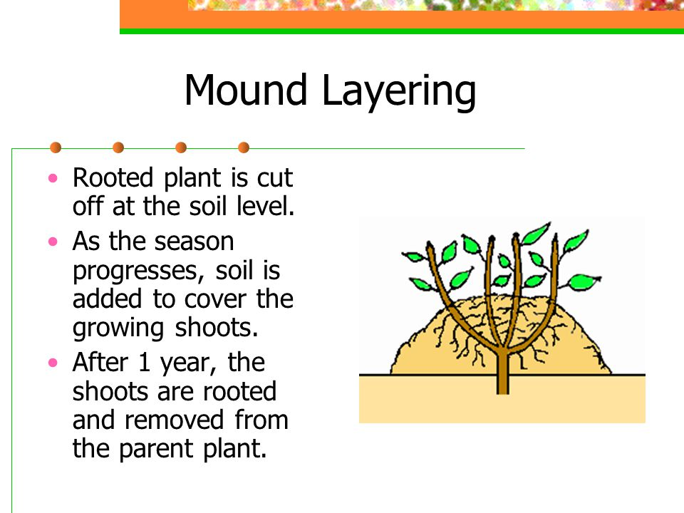 Mound Layering Rooted plant is cut off at the soil level. As the season progresses, soil is added to cover the growing shoots. After 1 year, the shoot
