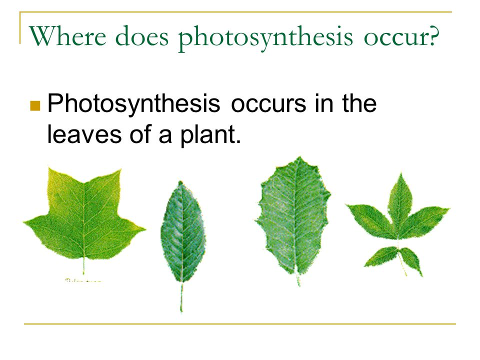 Where does photosynthesis occur? Photosynthesis occurs in the leaves of a plant.