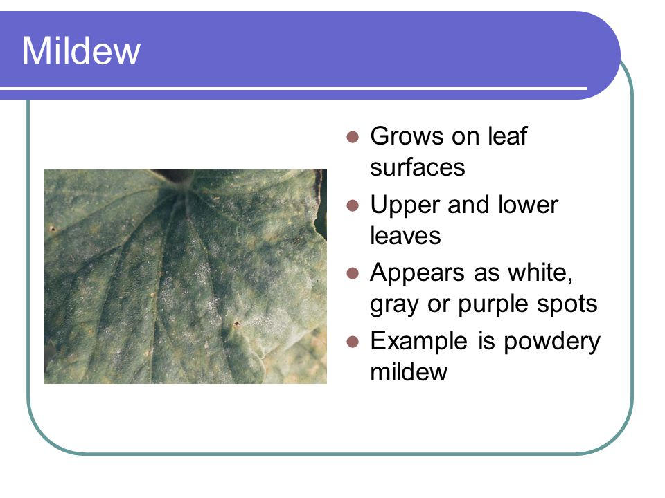 Mildew Grows on leaf surfaces Upper and lower leaves Appears as white, gray or purple spots Example is powdery mildew