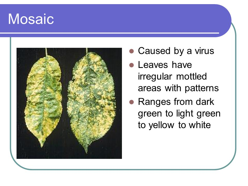 Mosaic Caused by a virus Leaves have irregular mottled areas with patterns Ranges from dark green to light green to yellow to white