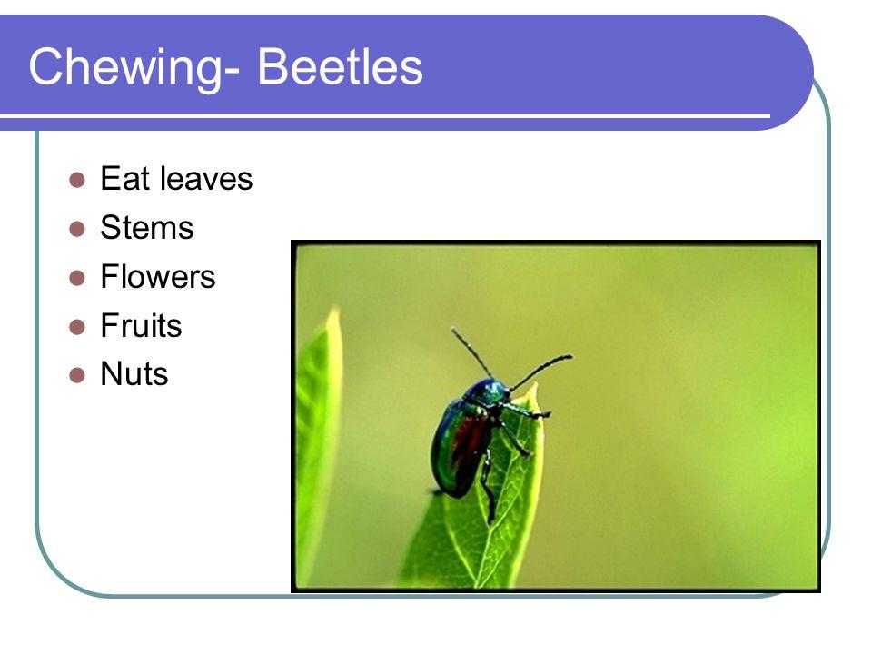 Chewing- Beetles Eat leaves Stems Flowers Fruits Nuts