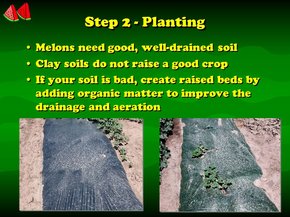 Step 2 - Planting Melons need good, well-drained soil Clay soils do not raise a good crop If your soil is bad, create raised beds by adding organic matter to improve the drainage and aeration Melons need good, well-drained soil Clay soils do not raise a good crop If your soil is bad, create raised beds by adding organic matter to improve the drainage and aeration