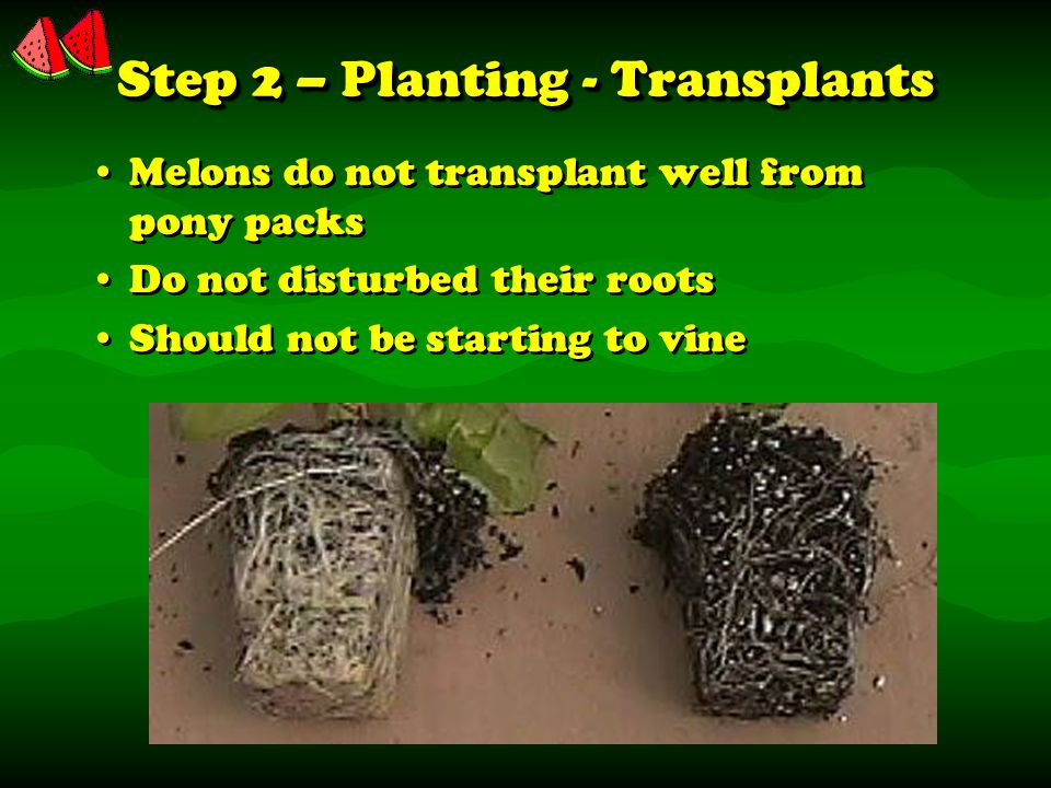 Step 2 – Planting - Transplants Melons do not transplant well from pony packs Do not disturbed their roots Should not be starting to vine Melons do not transplant well from pony packs Do not disturbed their roots Should not be starting to vine