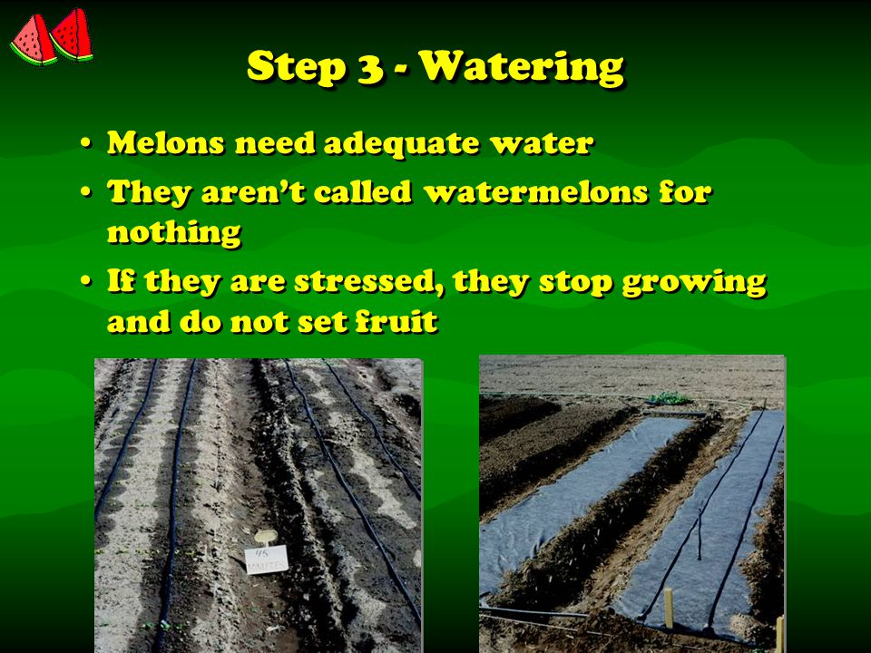 Step 3 - Watering Melons need adequate water They aren't called watermelons for nothing If they are stressed, they stop growing and do not set fruit Melons need adequate water They aren't called watermelons for nothing If they are stressed, they stop growing and do not set fruit