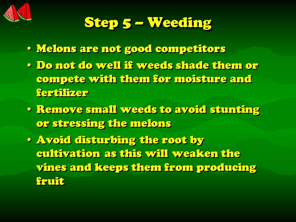 Step 5 – Weeding Melons are not good competitors Do not do well if weeds shade them or compete with them for moisture and fertilizer Remove small weeds to avoid stunting or stressing the melons Avoid disturbing the root by cultivation as this will weaken the vines and keeps them from producing fruit Melons are not good competitors Do not do well if weeds shade them or compete with them for moisture and fertilizer Remove small weeds to avoid stunting or stressing the melons Avoid disturbing the root by cultivation as this will weaken the vines and keeps them from producing fruit