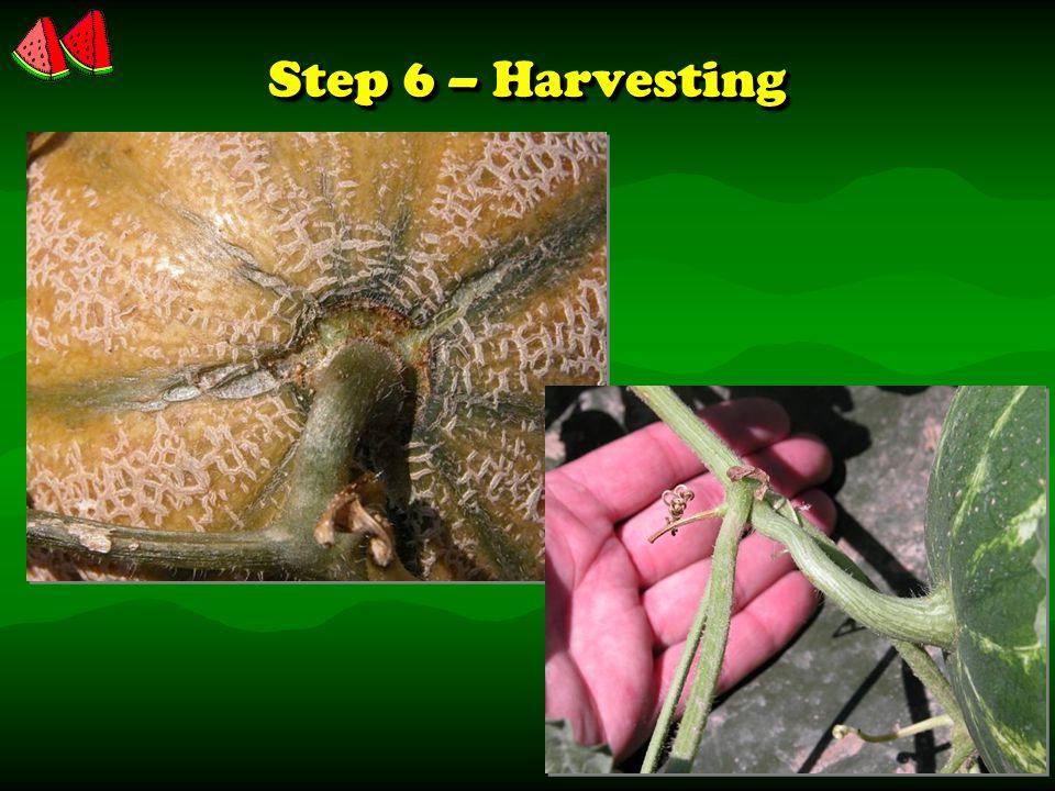 Step 6 – Harvesting