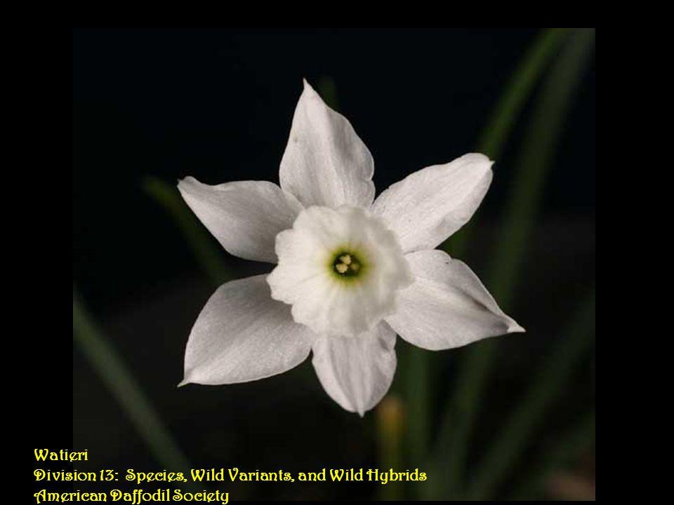Saint Louie Louie Division 6: Cyclamineus Daffodils American Daffodil Society