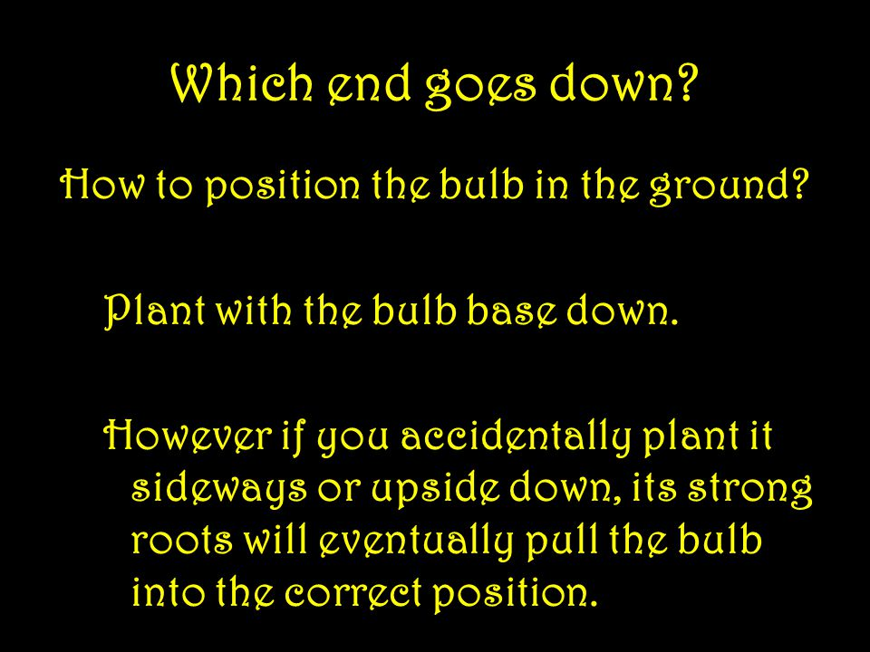 And yet more… How far apart to plant 3 X the width of the bulb.