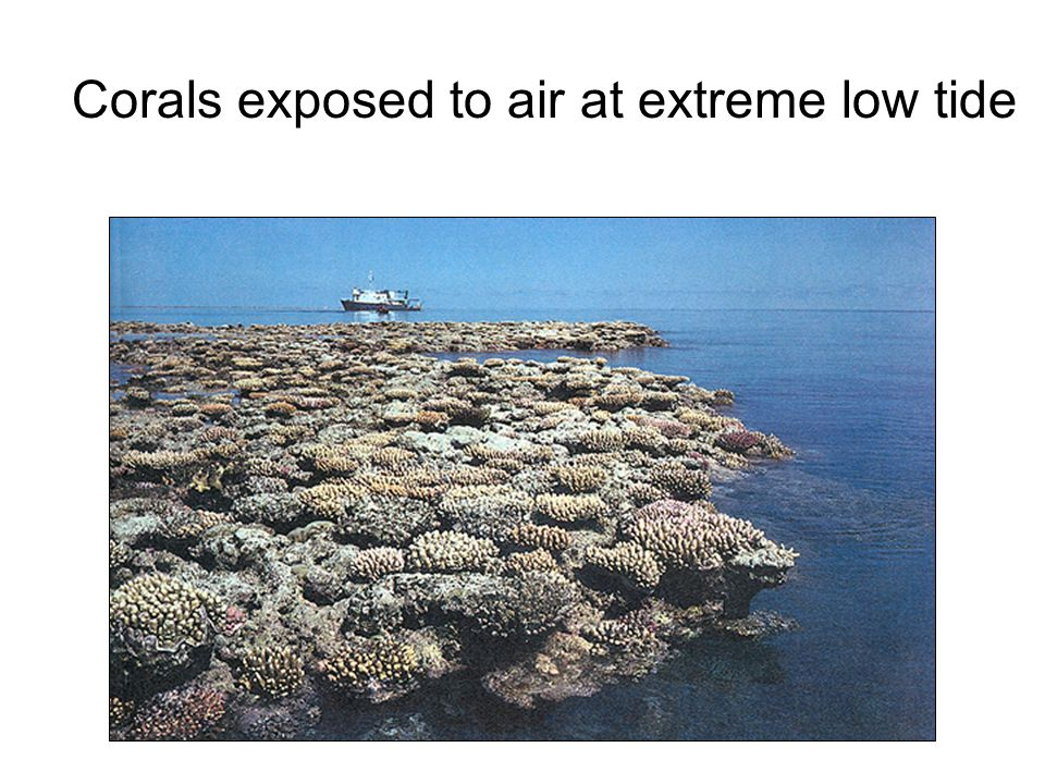 Corals exposed to air at extreme low tide