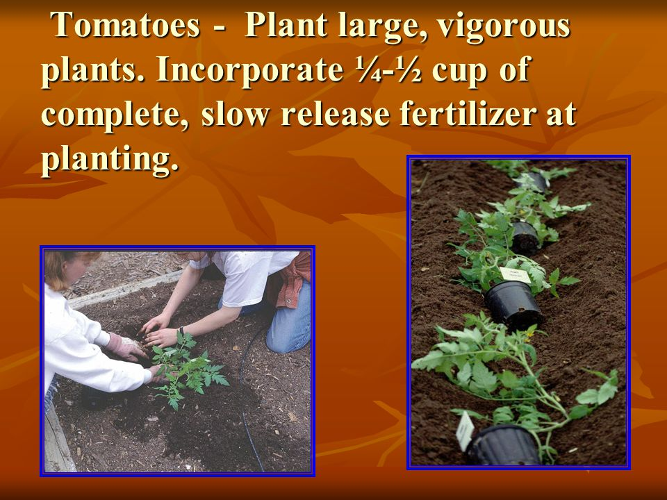 Tomatoes - May plant as early as January 15 th in 1-gallon containers and grow in full sun until after the last killing frost.