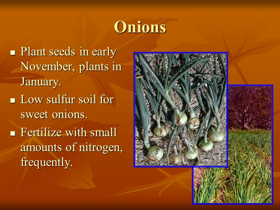 Leeks Plant clusters of 5-8 seed every 6 inches.Plant clusters of 5-8 seed every 6 inches.