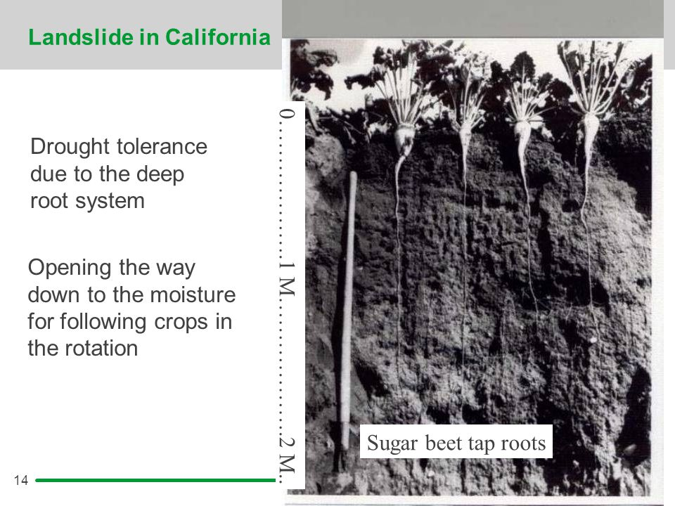 14 Landslide in California Drought tolerance due to the deep root system Opening the way down to the moisture for following crops in the rotation Suga