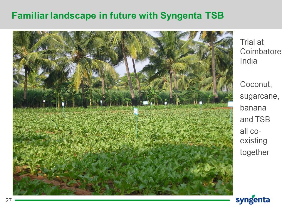 27 Familiar landscape in future with Syngenta TSB Trial at Coimbatore, India Coconut, sugarcane, banana and TSB all co- existing together