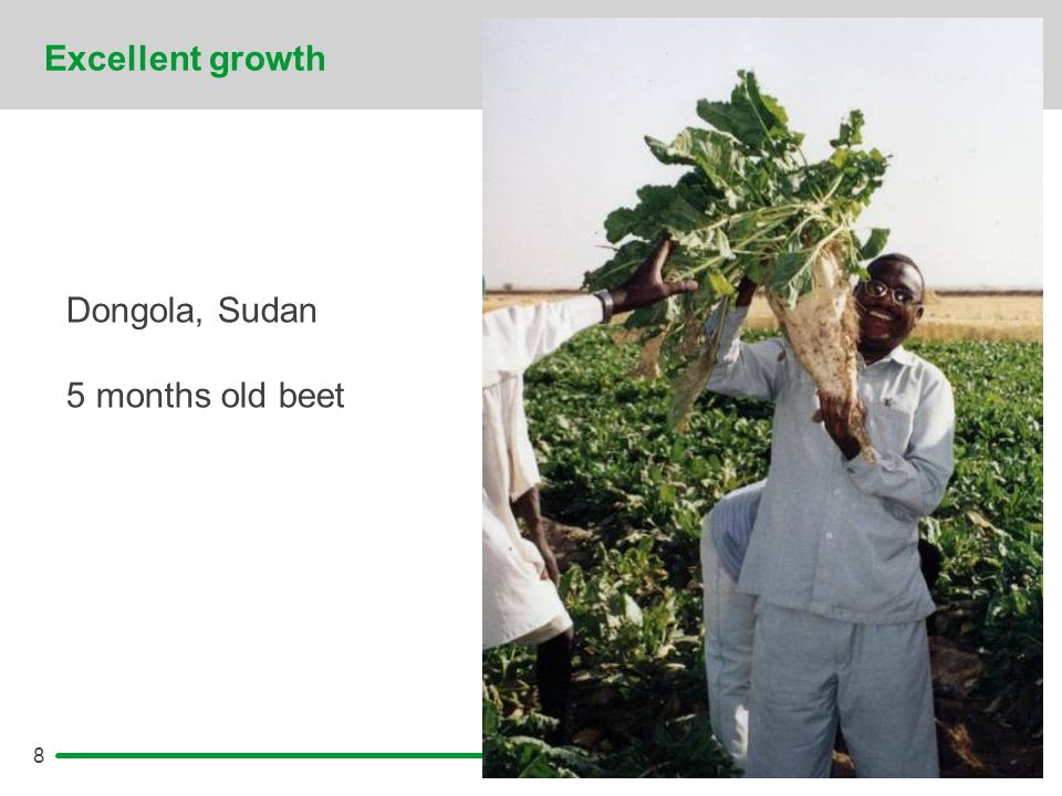 8 Excellent growth Dongola, Sudan 5 months old beet