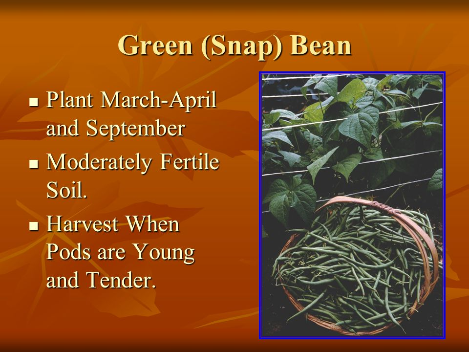 Green (Snap) Bean Plant March-April and September Plant March-April and September Moderately Fertile Soil.