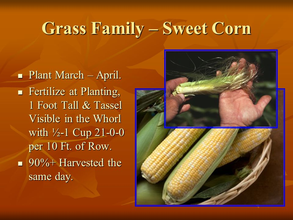 Grass Family – Sweet Corn Plant March – April. Plant March – April.