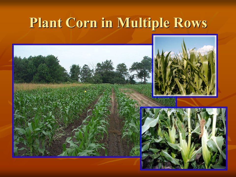 Plant Corn in Multiple Rows