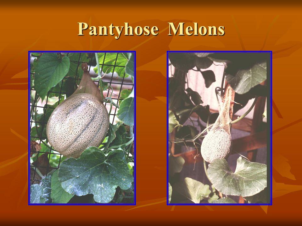 Pantyhose Melons