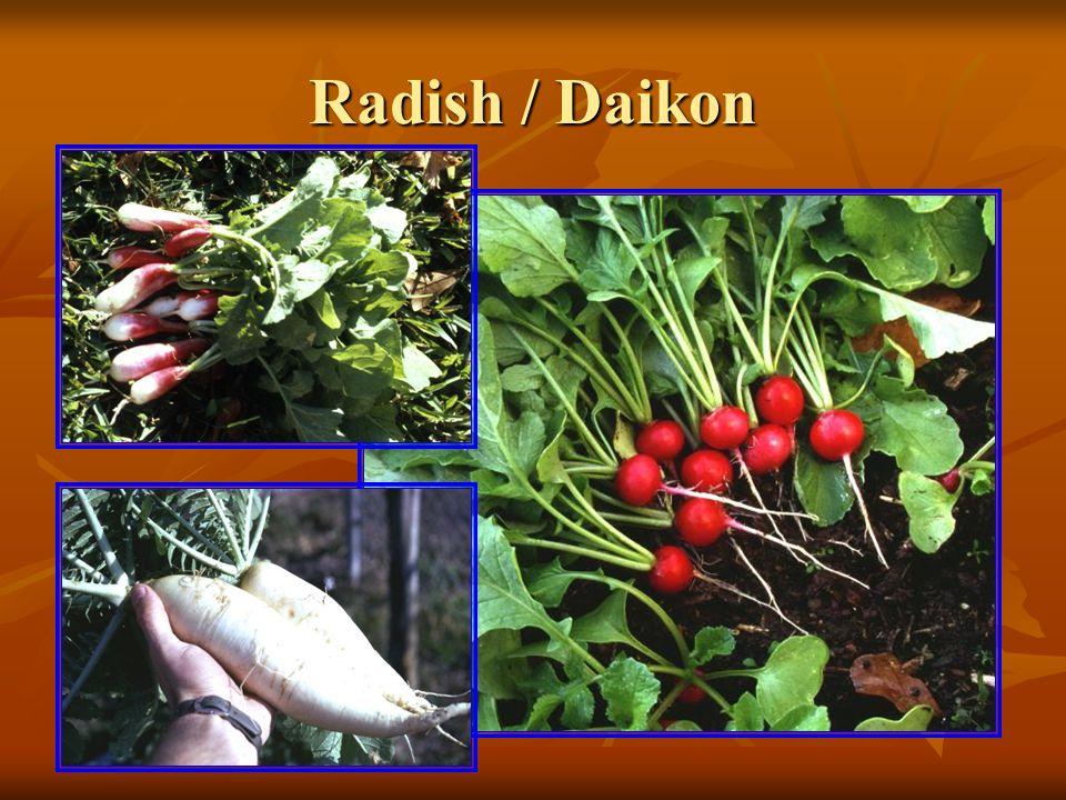 Radish / Daikon