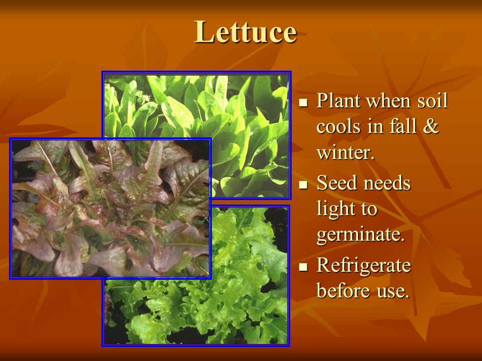 Lettuce Plant when soil cools in fall & winter. Plant when soil cools in fall & winter.