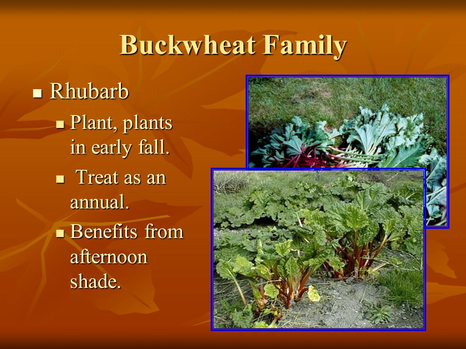 Buckwheat Family Rhubarb Rhubarb Plant, plants in early fall.