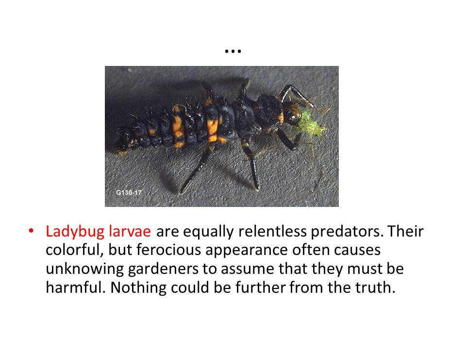 … Ladybug larvae are equally relentless predators.