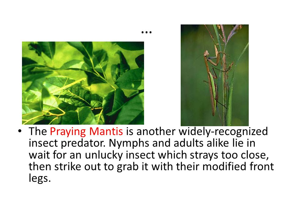 … The Praying Mantis is another widely-recognized insect predator.