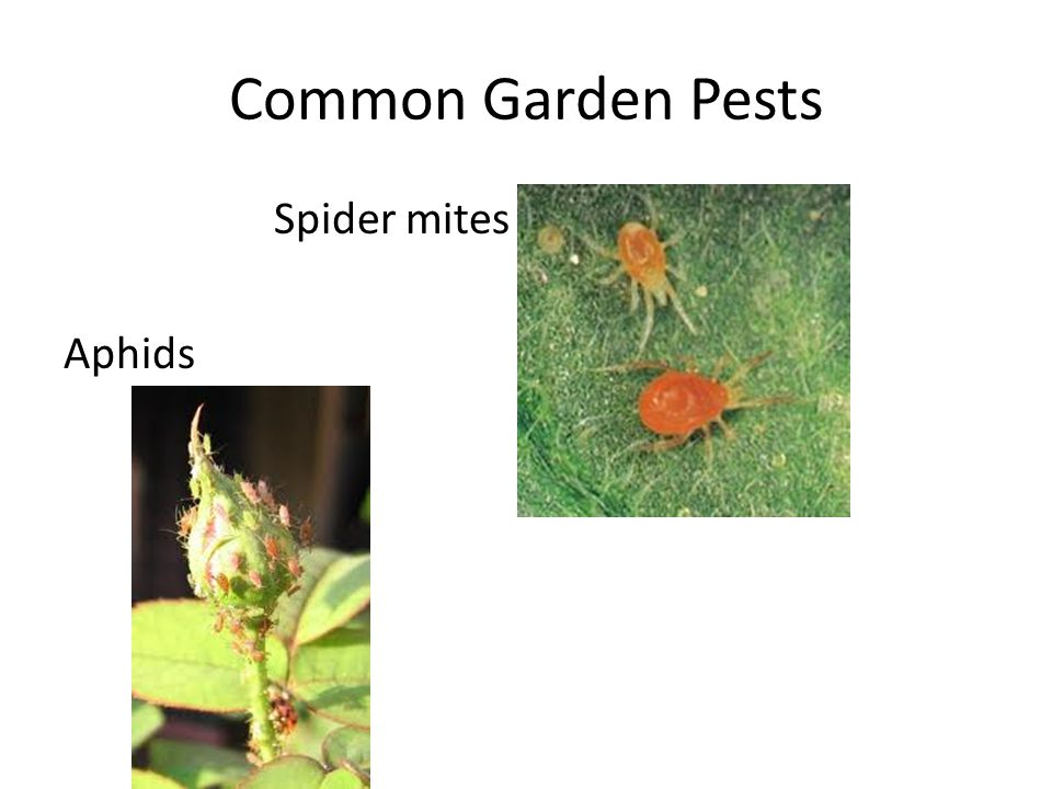 Common Garden Pests Spider mites Aphids