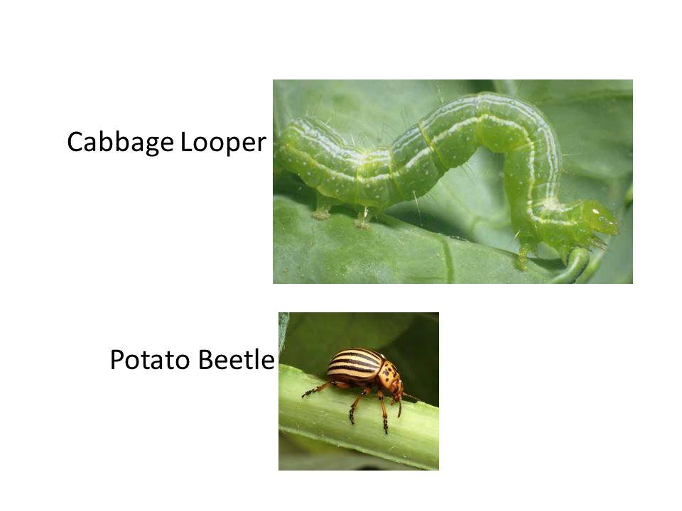 Cabbage Looper Potato Beetle