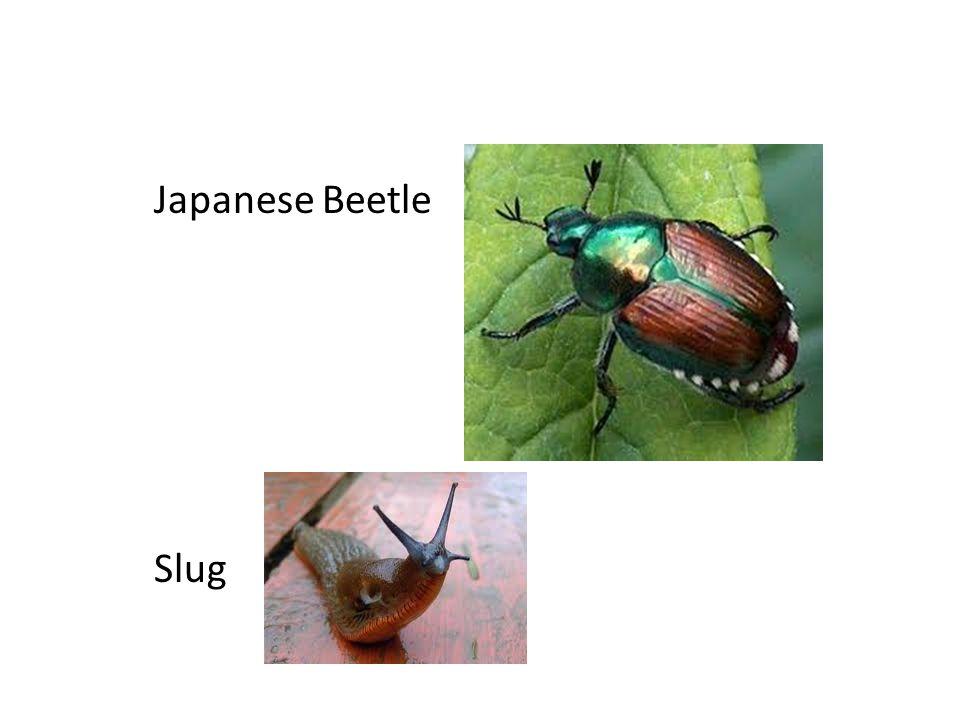 Japanese Beetle Slug