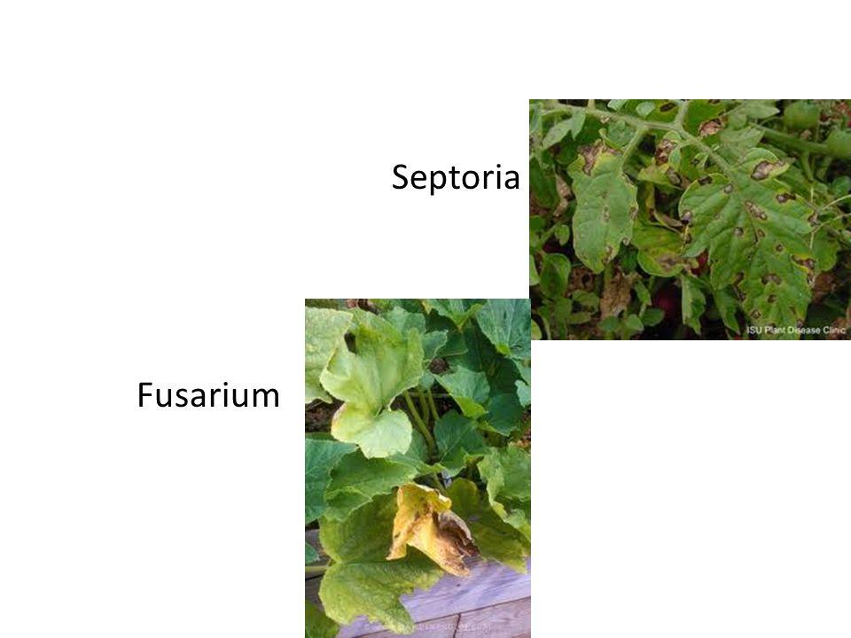 Septoria Fusarium
