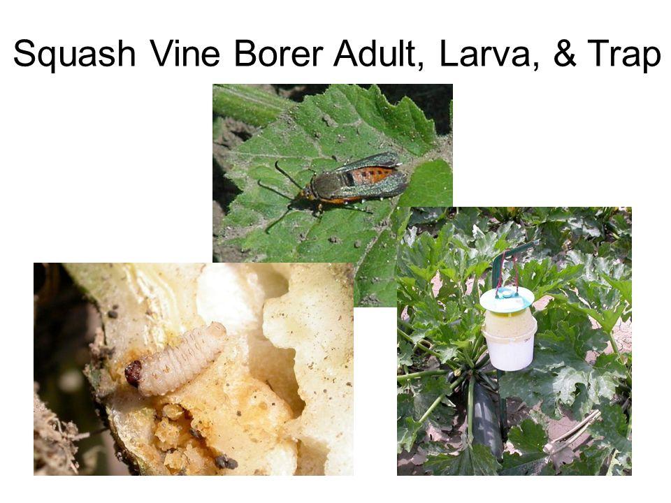 Squash Vine Borer Adult, Larva, & Trap