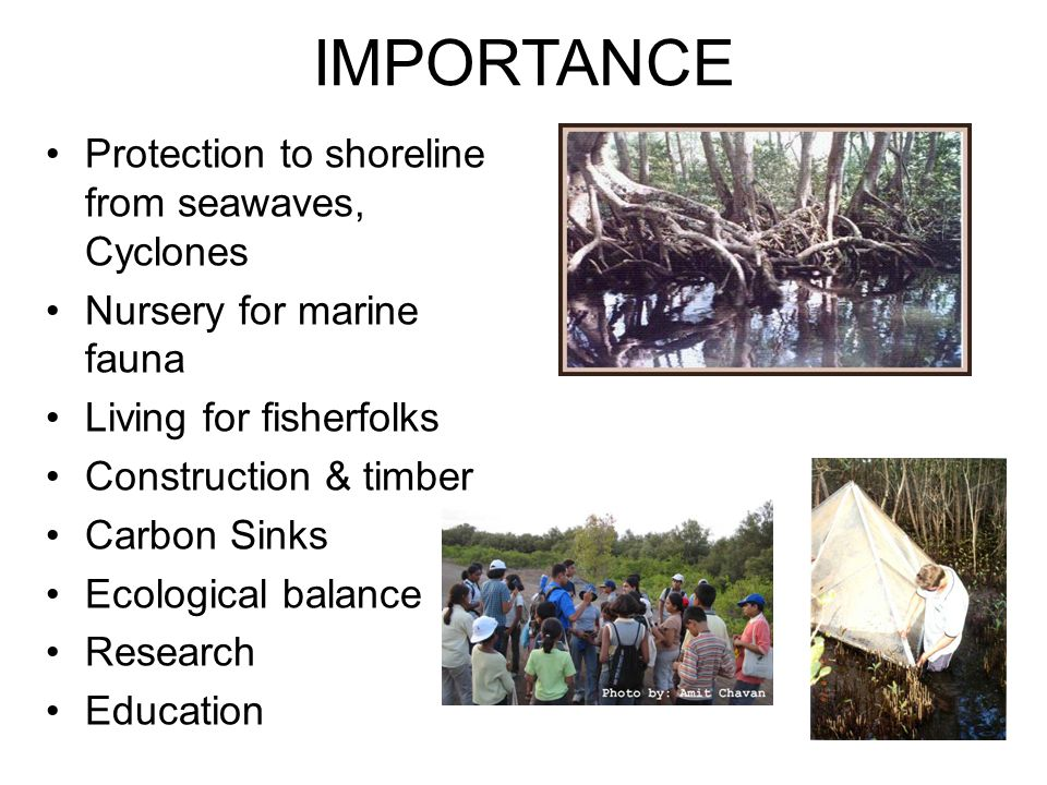 IMPORTANCE Protection to shoreline from seawaves, Cyclones Nursery for marine fauna Living for fisherfolks Construction & timber Carbon Sinks Ecologic