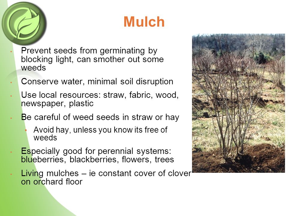 Mulch Prevent seeds from germinating by blocking light, can smother out some weeds Conserve water, minimal soil disruption Use local resources: straw, fabric, wood, newspaper, plastic Be careful of weed seeds in straw or hay Avoid hay, unless you know its free of weeds Especially good for perennial systems: blueberries, blackberries, flowers, trees Living mulches – ie constant cover of clover on orchard floor
