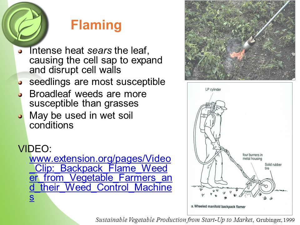 Flaming Intense heat sears the leaf, causing the cell sap to expand and disrupt cell walls seedlings are most susceptible Broadleaf weeds are more susceptible than grasses May be used in wet soil conditions VIDEO: www.extension.org/pages/Video _Clip:_Backpack_Flame_Weed er_from_Vegetable_Farmers_an d_their_Weed_Control_Machine s www.extension.org/pages/Video _Clip:_Backpack_Flame_Weed er_from_Vegetable_Farmers_an d_their_Weed_Control_Machine s Sustainable Vegetable Production from Start-Up to Market, Grubinger, 1999