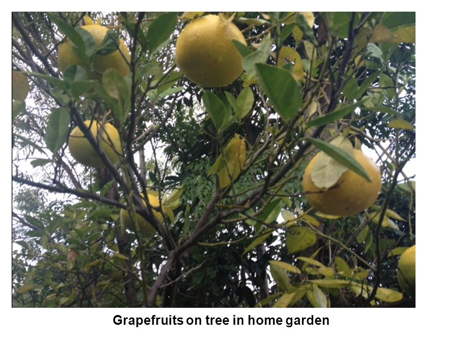 Grapefruits on tree in home garden