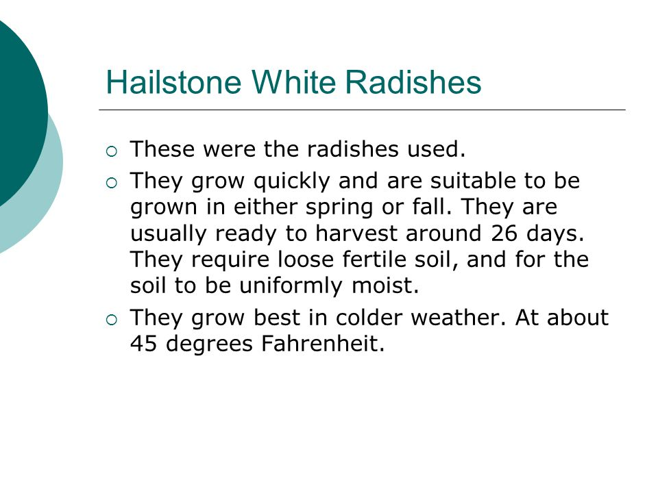 Hailstone White Radishes  These were the radishes used.  They grow quickly and are suitable to be grown in either spring or fall. They are usually r