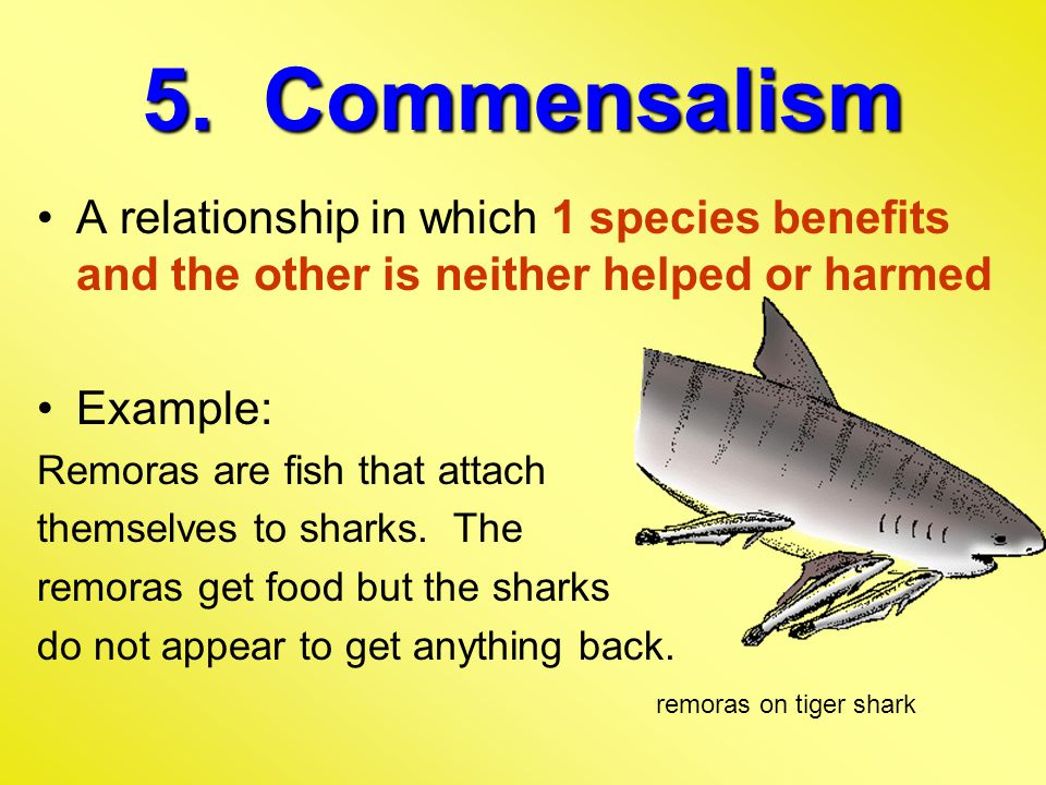 5. Commensalism A relationship in which 1 species benefits and the other is neither helped or harmed Example: Remoras are fish that attach themselves