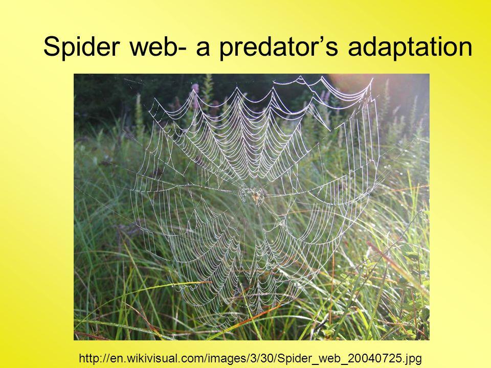 Spider web- a predator's adaptation http://en.wikivisual.com/images/3/30/Spider_web_20040725.jpg