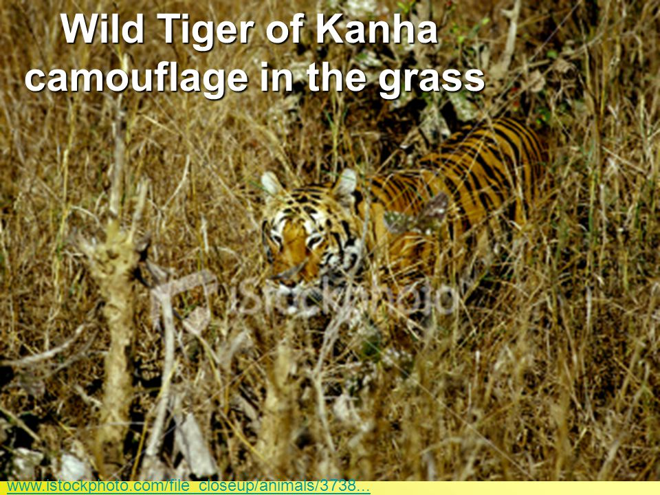 Wild Tiger of Kanha camouflage in the grass www.istockphoto.com/file_closeup/animals/3738...