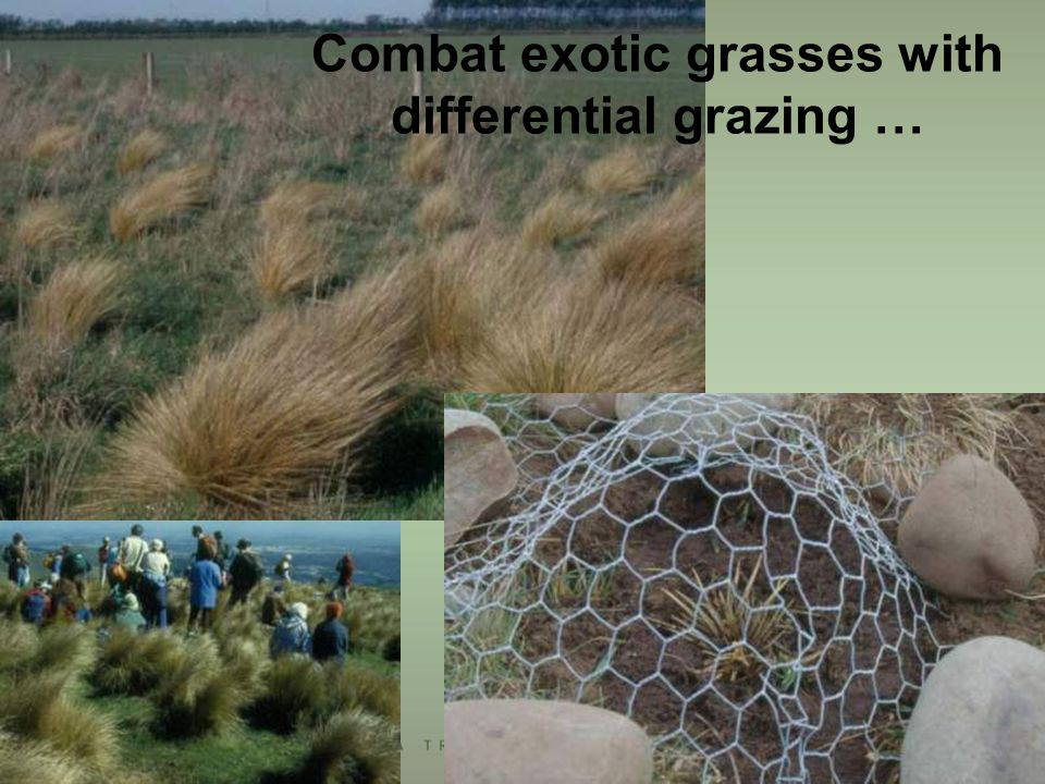 Combat exotic grasses with differential grazing …