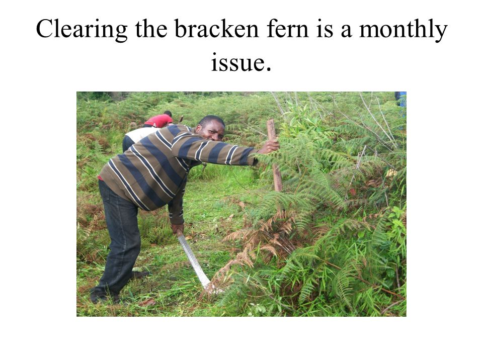 Clearing the bracken fern is a monthly issue.