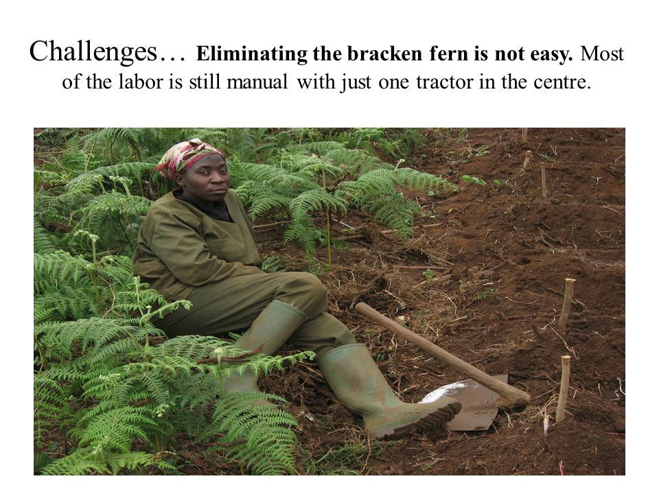Challenges… Eliminating the bracken fern is not easy. Most of the labor is still manual with just one tractor in the centre.