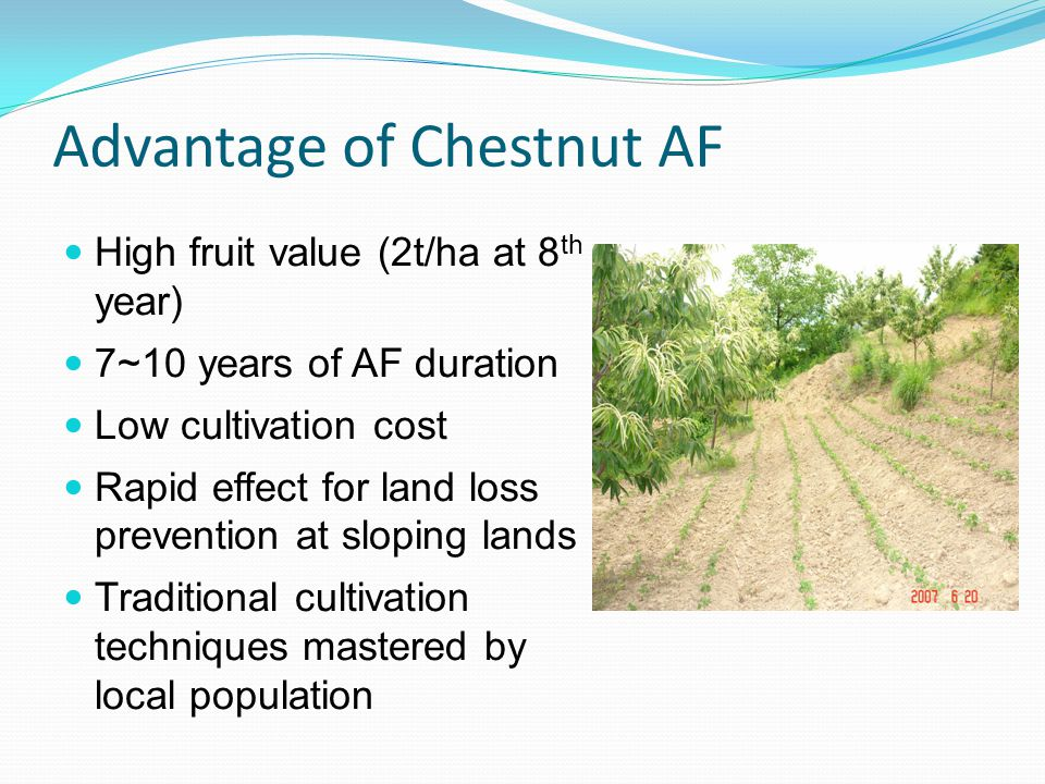 Advantage of Chestnut AF High fruit value (2t/ha at 8 th year) 7~10 years of AF duration Low cultivation cost Rapid effect for land loss prevention at sloping lands Traditional cultivation techniques mastered by local population