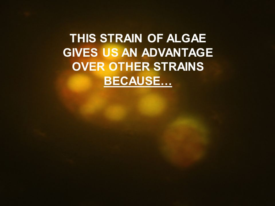 THIS STRAIN OF ALGAE GIVES US AN ADVANTAGE OVER OTHER STRAINS BECAUSE…